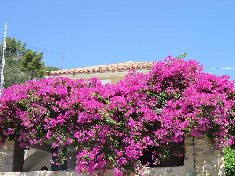 Frauen Segeln:  Blumenpacht Bouganville